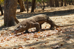 Komodo dragon biggest lizard at National Park. Indonesia. Komodo dragon is on the ground. Interesting perspective. The low point shooting. Indonesia. Komodo Royalty Free Stock Images