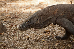Komodo dragon biggest lizard at National Park. Indonesia. Komodo dragon is on the ground. Interesting perspective. The low point shooting. Indonesia. Komodo Royalty Free Stock Photography