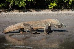 Komodo Dragon on Black Sand Beach Royalty Free Stock Image