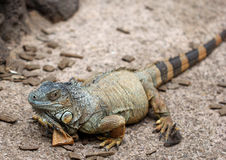 The Komodo dragon calmy sitting on the ground Stock Image