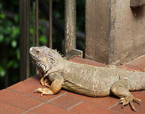 The Komodo dragon calmy sitting on the ground Royalty Free Stock Images