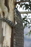 Komodo dragon casually lounging on a tree in Australia. A Komodo dragon casually lounging on a tree in Australia royalty free stock photos