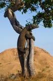 Komodo dragon climbed a tree. Very rare picture. Indonesia. Komodo National Park. Royalty Free Stock Photography