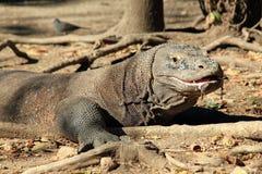 Komodo Dragon Royalty Free Stock Image