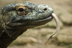 Komodo dragon close up Stock Photo