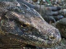 Komodo Dragon Close-Up Lizenzfreie Stockfotos