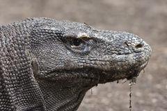 Komodo dragon in close-up Royalty Free Stock Images