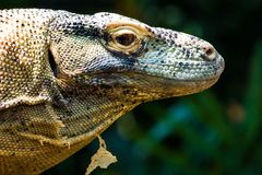 Komodo Dragon. Close up of a Komodo Dragon`s head Stock Photos