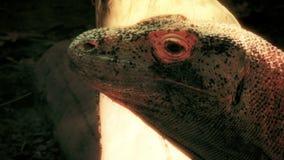 Komodo Dragon closeup. Up close and personal with a Komodo Dragon. 4K UHD footage stock footage