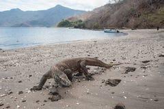 Komodo Dragon Crawling på den avlägsna stranden Royaltyfri Foto