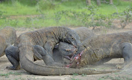 The Komodo dragon dragons fight for prey. The Komodo dragon, Varanus komodoensis Stock Images