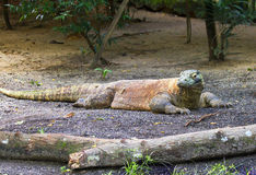 Komodo dragon. Royalty Free Stock Images