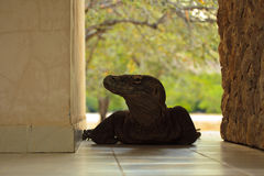 Komodo Dragon Entering Building in Forest Stock Images