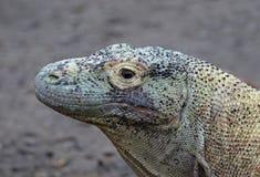 Komodo Dragon Face Stock Photos