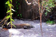 Komodo Dragon, Florida zoo Stock Photo