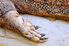 Komodo dragon foot Stock Photography