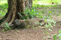 Komodo dragon in forest Royalty Free Stock Images