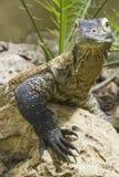 Komodo dragon giant lizard Stock Photos
