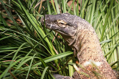 Komodo Dragon in grass at zoo Stock Photos