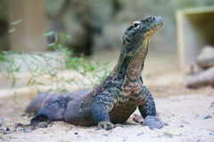 Komodo dragon at ground Stock Image