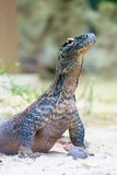 Komodo dragon at ground Stock Images