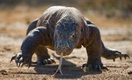 Komodo dragon is on the ground. Indonesia. Komodo National Park. royalty free stock photos