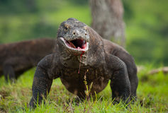 Komodo dragon is on the ground. Indonesia. Komodo National Park. Stock Photo