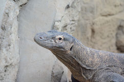 Komodo dragon head Royalty Free Stock Photo