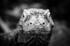 Komodo Dragon Head shot. Black and white portrait of a Komodo Dragon being raised in captivity Stock Photos