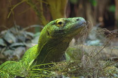 Komodo Dragon. With head up looking to right in London Zoo Royalty Free Stock Photo