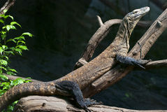 Komodo dragon is heated Stock Photography