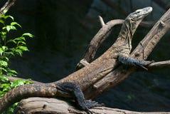 Komodo dragon is heated Stock Photography