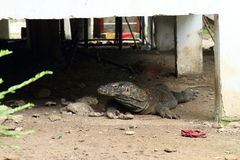 Komodo dragon hiding under kitchen Stock Photography