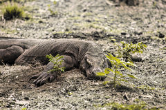 Komodo Dragon.Indonesia royalty free stock images