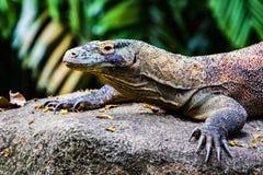 Komodo Dragon Juvenile Images libres de droits