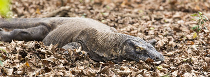 Komodo dragon in Komodo island Royalty Free Stock Photo
