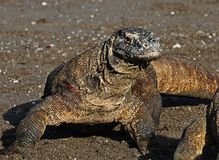 Komodo dragon on komodo islands Royalty Free Stock Photography