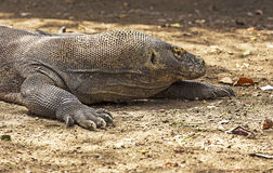 Komodo Dragon in Komodo national park Royalty Free Stock Photos