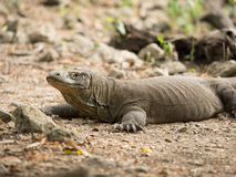 Komodo Dragon, Komodo National Park Royalty Free Stock Photo
