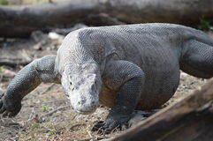 Komodo Dragon. A large adult Komodo dragon goes for a walk after sunbathing himself Stock Photography