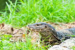 Komodo Dragon, the largest lizard in the park Royalty Free Stock Image