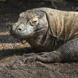 Komodo Dragon, the largest lizard in the world Royalty Free Stock Images