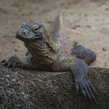 Komodo Dragon, the largest lizard in the world Royalty Free Stock Image