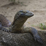 Komodo Dragon, the largest lizard in the world Royalty Free Stock Photography