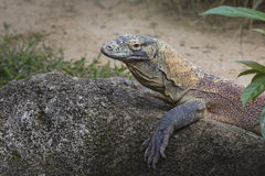 Komodo Dragon, the largest lizard in the world Royalty Free Stock Photos