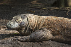 Komodo Dragon, the largest lizard in the world Stock Image