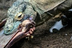 Komodo Dragon, the largest lizard in the world walks at camera with dangerous look stock photos
