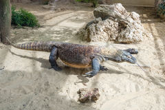 Komodo Dragon, the largest lizard in the world Stock Photo