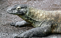 Komodo dragon 8 Stock Photo