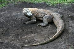 Komodo Dragon. The legend Indonesian komodo dragon Stock Images